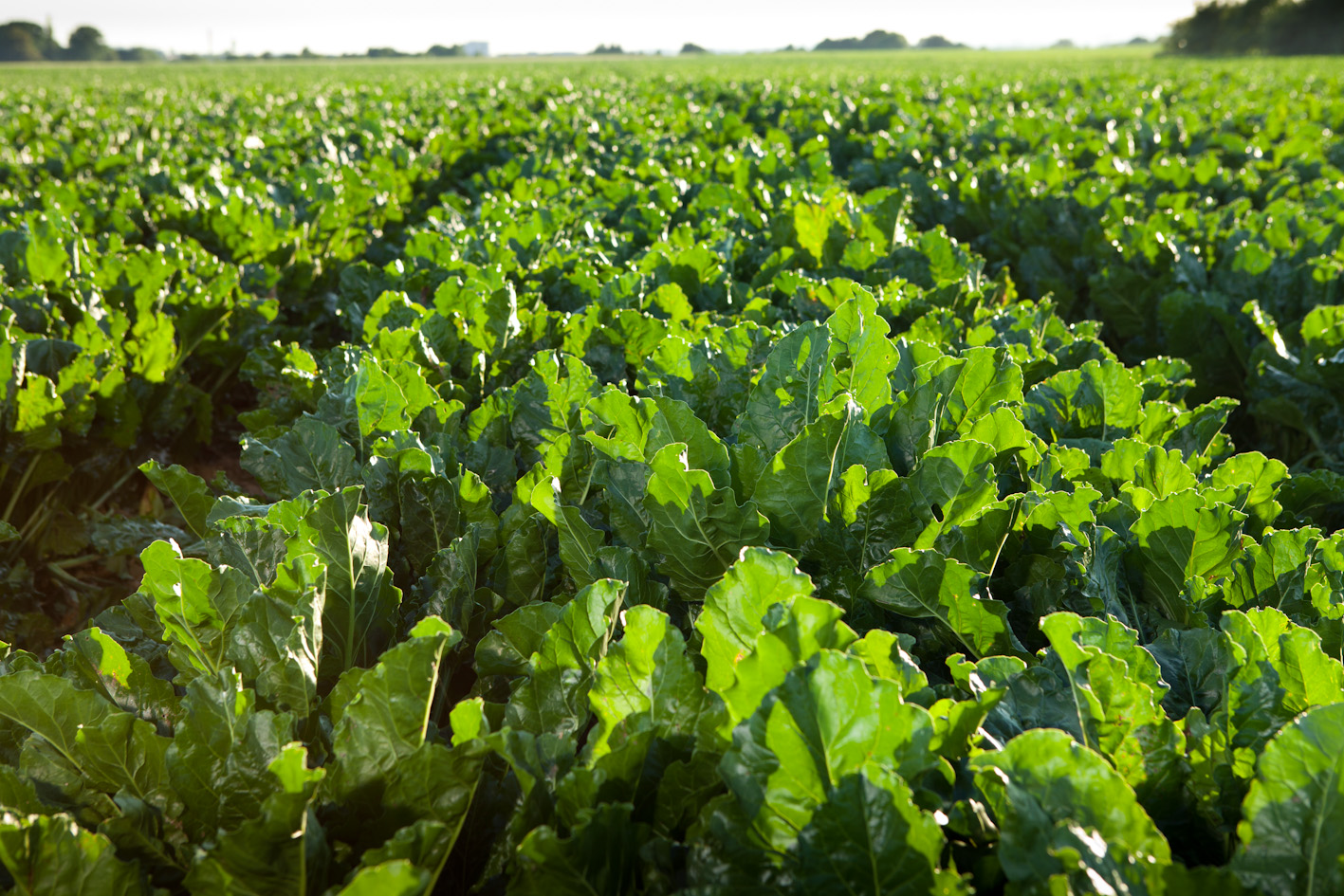 limagrain u2019s sugar beet varieties offer flexibility in