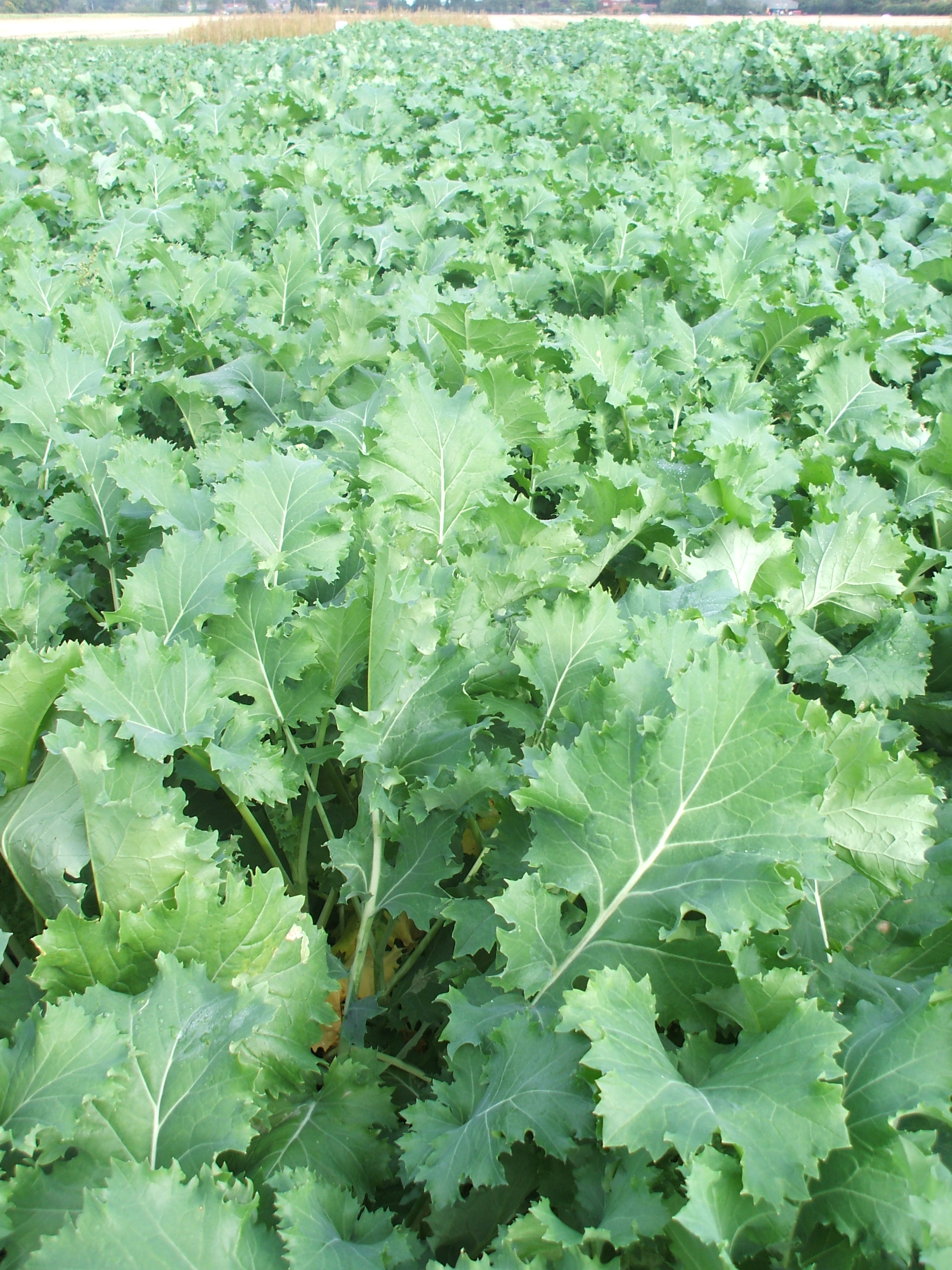 fast food supply from crop of forage rape