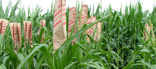 Maize breeding services 540x240