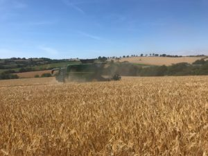 Rafaela Winter Barley from Limagrain