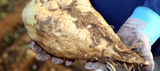 Sugar Beet Root Closeup1 services