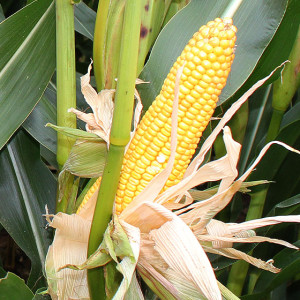 glory-maize-product