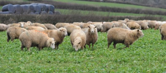 Lambs grazing on forage rape