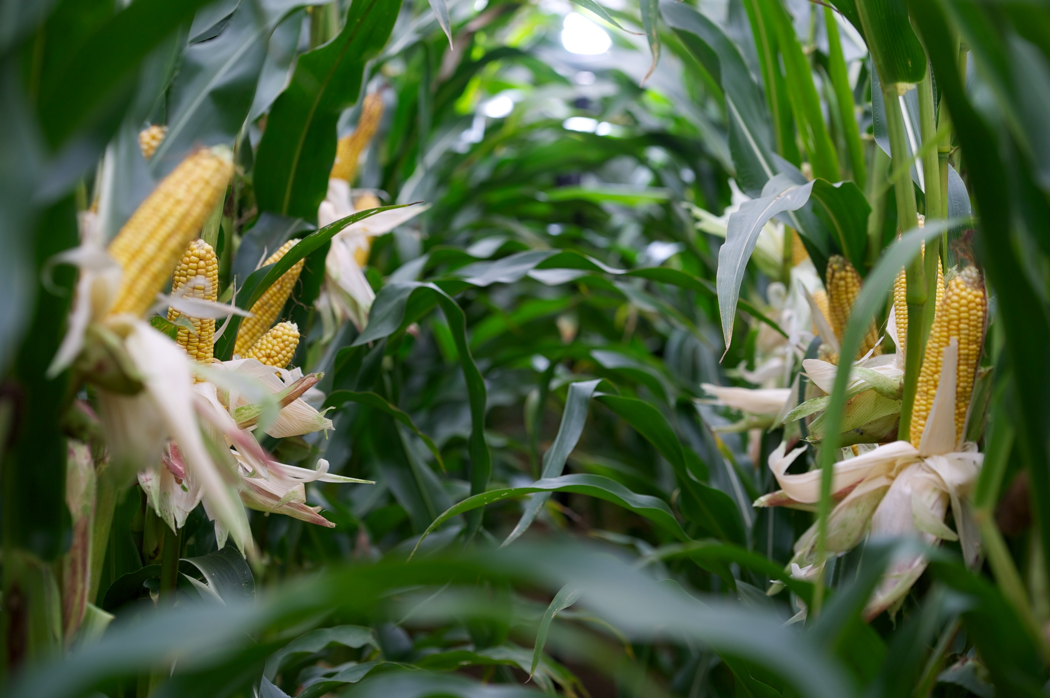Maize varieties that deliver best feed quality will be in demand
