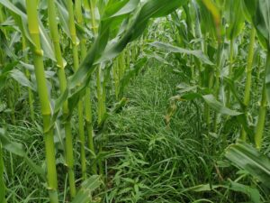 Maize undersown with grass